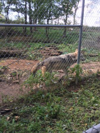 Poynette, WI: Wolf