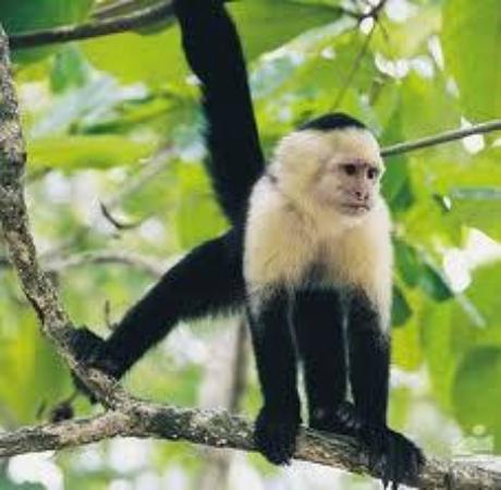 Cabinas The Corner: mono cara blanca en Puerto Jimenez