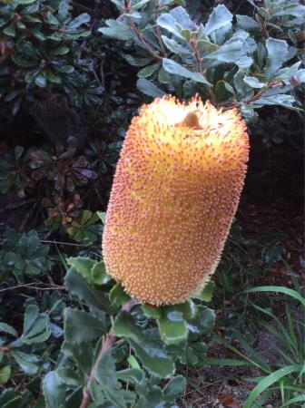 Amelup, Australien: Sadly our what looked healthy & blooming huge Banksia split & fell over for no reason :-(