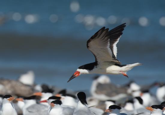 Fernandina Beach, FL: Shorebirds (black skimmers, terns and gulls) enjoy this beach