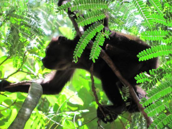 Плайя-Гранде, Коста-Рика: Monkey
