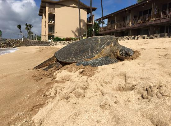 Hale Kai Oceanfront Condominiums: Sea turtles from the beach next to the pool area.