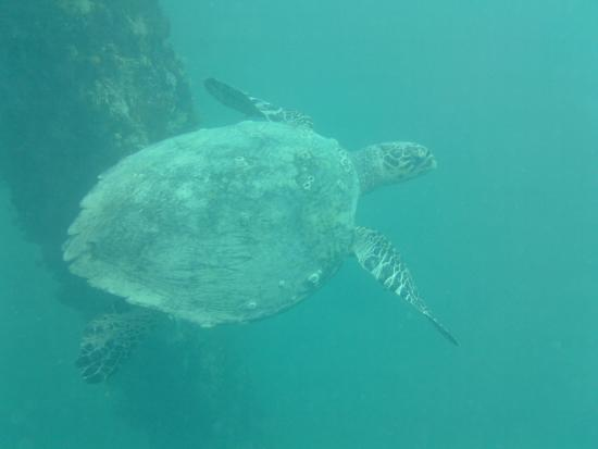Abe's Snorkeling and BioBay Tours: Turtle near Mosquito Pier