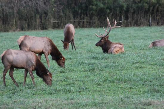 Buffalo National River Park: Elks in Boxley Valley