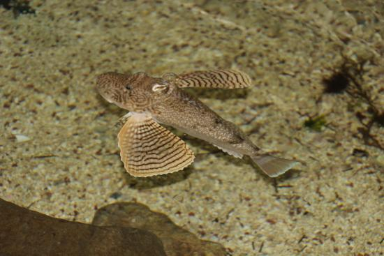 University of Texas - Pan American Coastal Studies Lab: Fish in open tank