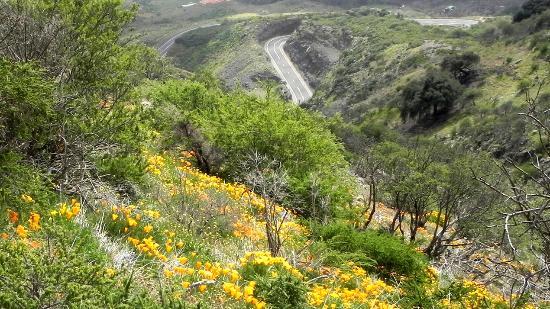 Arafo, ספרד: Goldmohnwiesen bei Arafo