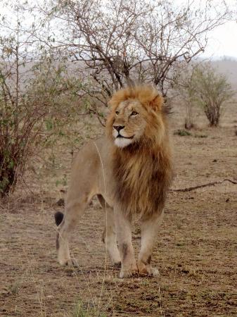 Tanke Tours: Der Koenig in der Masai Mara