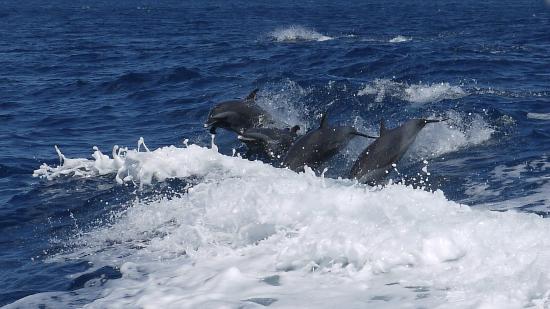 Dauphins Martinique: Dauphins tachetés pantropicaux