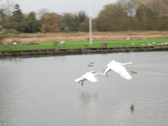 The Beetle & Wedge Boathouse: Swans flying past the hotel