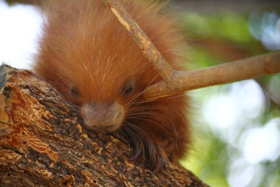 Atascadero, CA: Baby porcupine at The Charles Paddock Zoo.