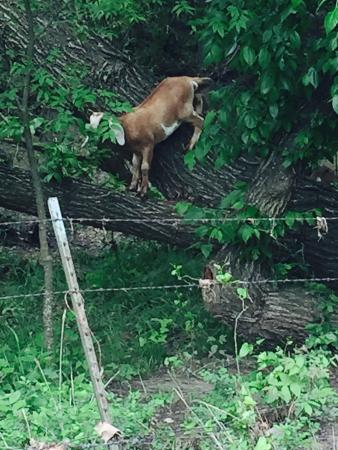 Muenster, TX: Goats up in the trees