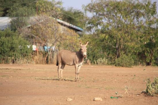 Longido, Tanzânia: The donkeys are everywhwere