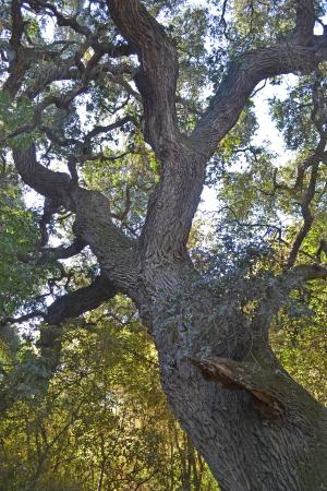 Caswell Memorial State Park: Looking up at one of the huge oaks