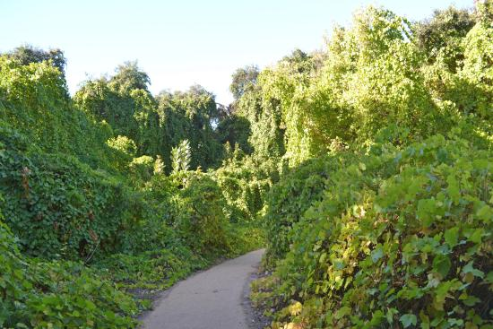 Caswell Memorial State Park: Wild Grapevines along the trail