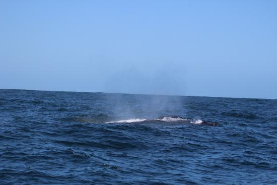 Humpback Whale with Ocean Safaris 18 Nov 2015