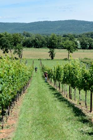 Berryville, VA: Tending to the vines during the summer