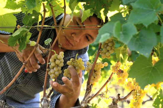 Berryville, VA: harvesting white-wine grapes