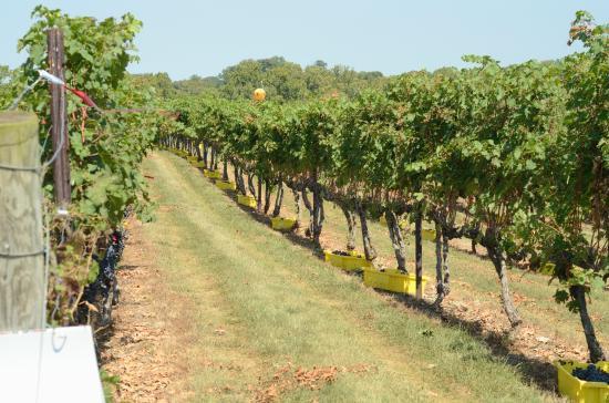 Berryville, VA: the vineyard