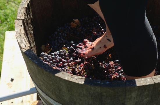 Berryville, VA: Stomping grapes during the annual harvest festival