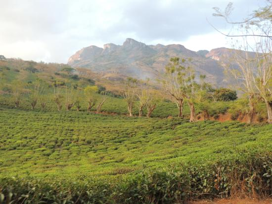 Mozambique: Gurue Tea Plantation