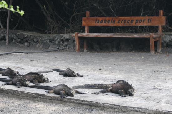 Puerto Villamil, Ecuador: Iguanas marinas
