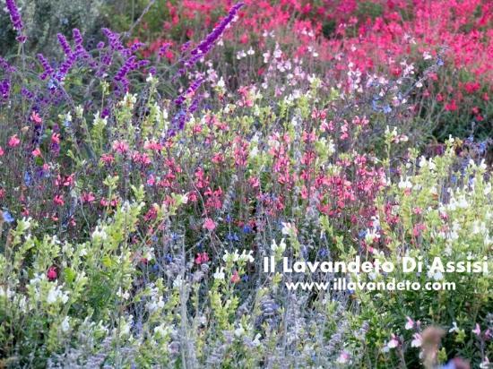 Il Lavandeto Di Assisi Vivaio: Salvie Da Fiore, Piante Fiorite Tutto Lu0027 Anno