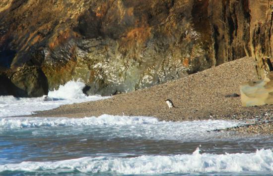 Monro Beach: Fiordland crested penguin !!!!
