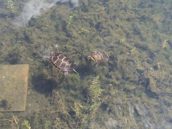 Canaan, estado de Nueva York: Eastern Painted Turtles