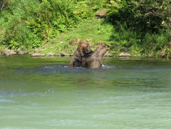 Kenai, AK: Two bears playing together in the water