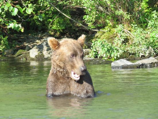 Kenai, AK: Wolverine Creek Salmon Fishing / Bear Watching