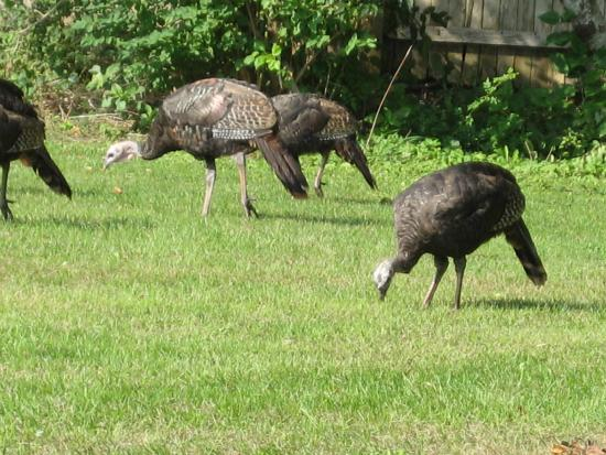 Tidewater Inn: Turkey visitors