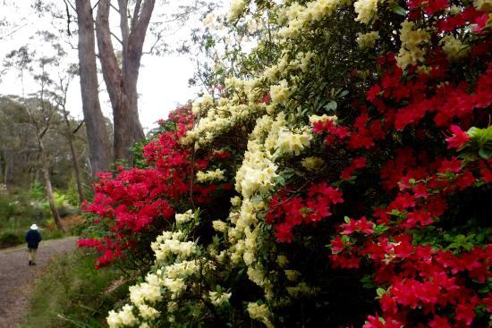 Campbell Rododendon Gardens, Blackheath
