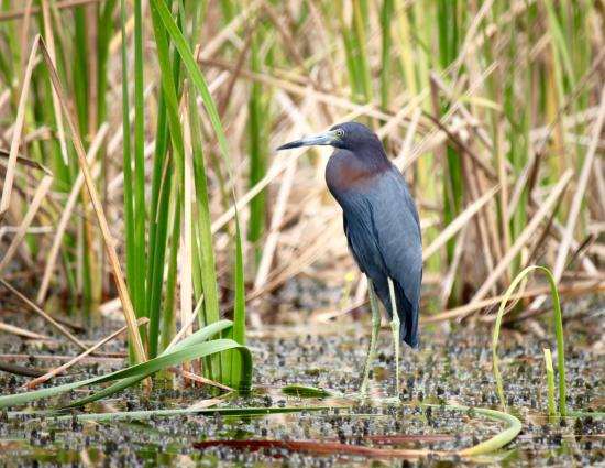 Marco Island Boat Tours: Little Blue Heron