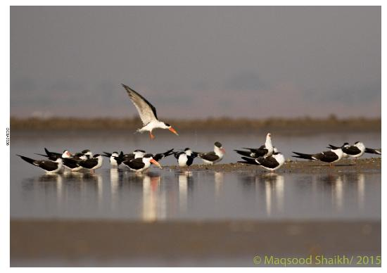 Ranthambore National Park, Indien: Indian skimmer Flock at the Surwal lake