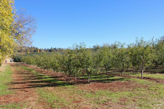 Boa Vista Orchards : Apple Orchard across the street.