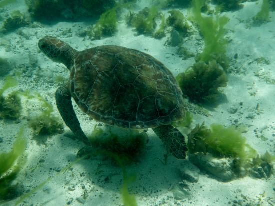 Dennis' Hideaway: Lots of turtles at the Cays