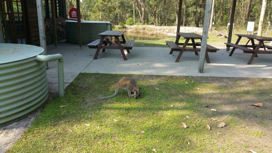 Vacy, Australien: Kangaroos are constant visitors