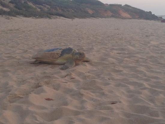 Beaches of Broome : Turtle