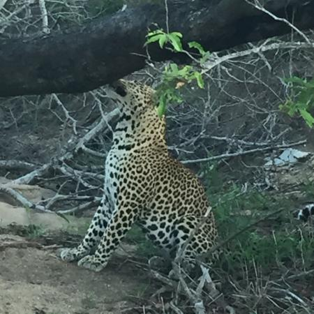Djuma Game Reserve, Sudáfrica: Amazing game drives. Big 5 in one day.