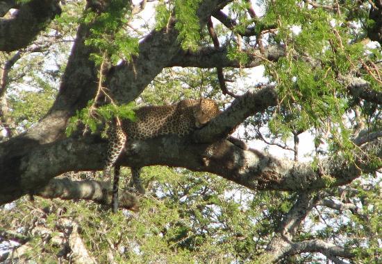A Leopard Hidden In The Tree Picture Of Safari Porini Day Trips