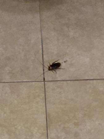 Hidalgo, TX: Cucaracha (1 de 2) en el baño, después de matarla.