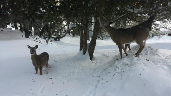 Port Carling, Canadá: Deer outside our dining room