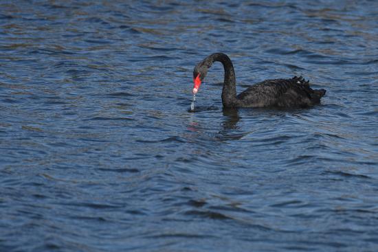 Cape May Point, Nueva Jersey: Black Swan