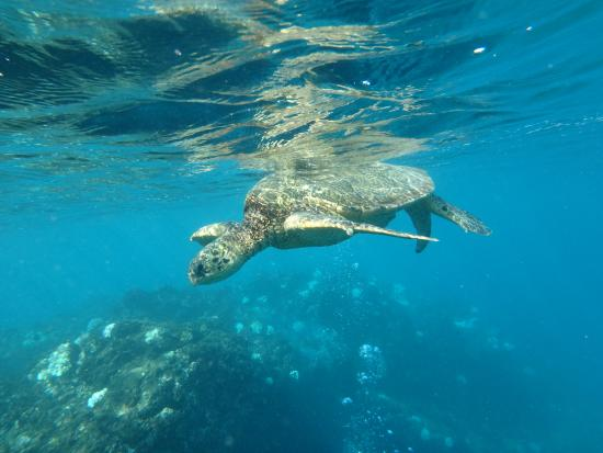 Clear Kayaks Maui: Lots of turtles!!!