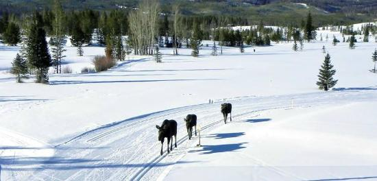 Western Riviera Lakeside Lodging & Events: Moose at the Grand Lake Nordic Center