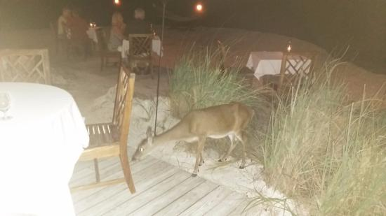 Little Palm Island Resort & Spa, A Noble House Resort: Key Deer a bit too brave at dinner, discourage feeding them