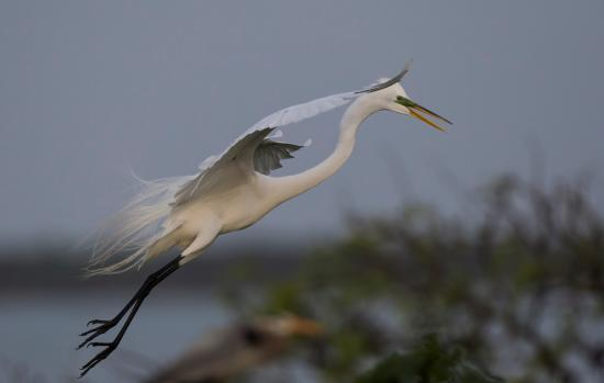 Rockport, TX: Great Egret in flight