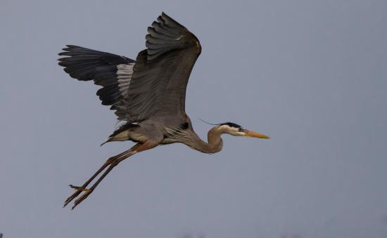 Rockport, TX: Great Blue Heron on flight
