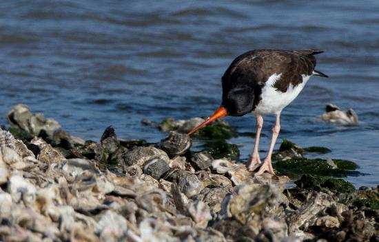 Rockport, TX: Oystercatcher with oyster
