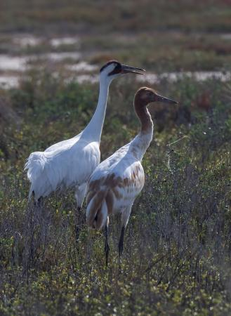 Rockport, TX: Whooping Cranes, Adult and Juvenile